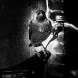 Hypnose vogel met fiets